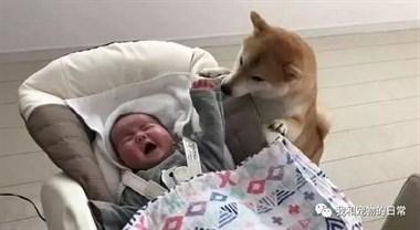 懂事柴犬照顾小主人,带宝宝简真比妈妈还上心,太暖心了!