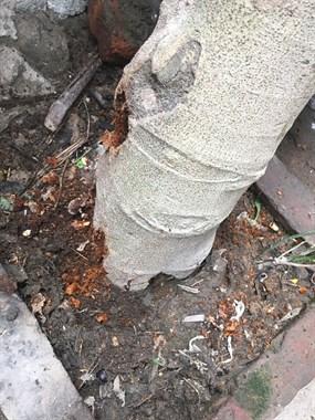 无花果树被虫蛀了怎么办?