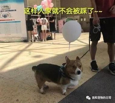 为了防止小狗狗出门不让人踩到,主人想到了这个办法,既可爱又安全!