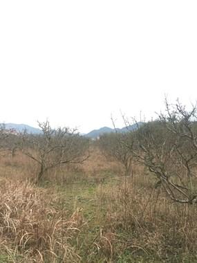有500颗13公分左右的梨树出售