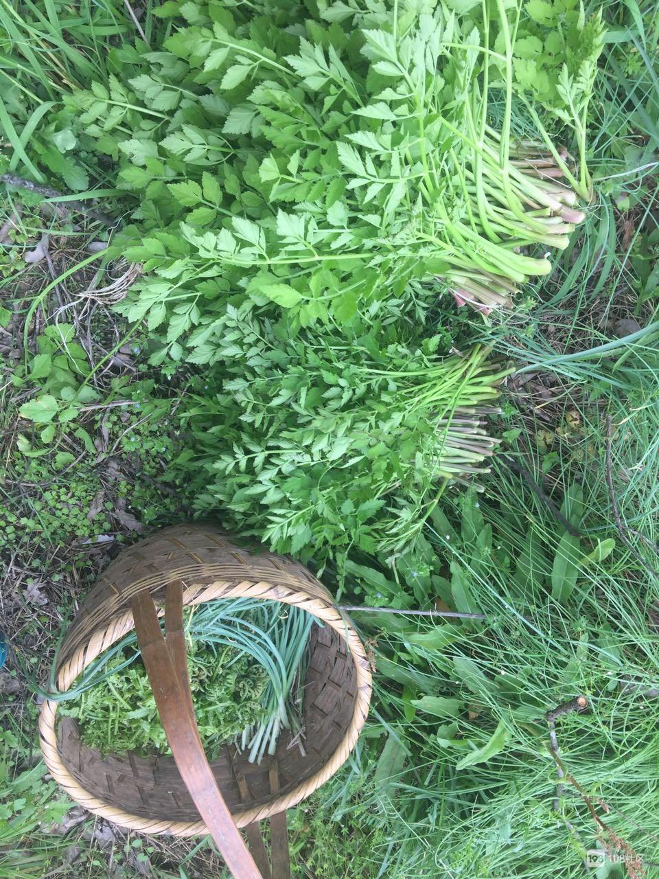 瓷都女子一小时就菜满满一篮子野菜!种类很丰富!
