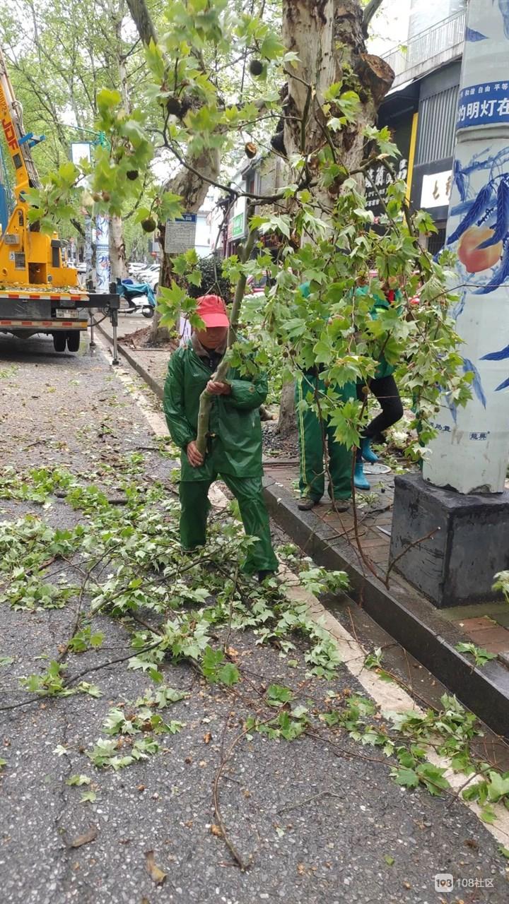 瓷都最近很多树都倒了 别怕!园林工人们会及时处理的