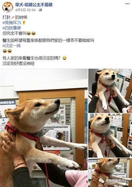 """柴柴打针针飞机耳伸JioJio,呆萌样子引医生姨母笑""""它好乖哦""""~"""