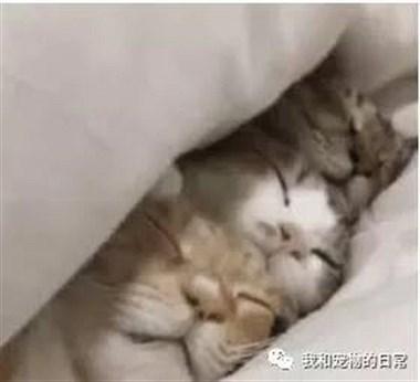 3只猫咪床照,二喵共侍一夫:赶紧把朕的床单放下!