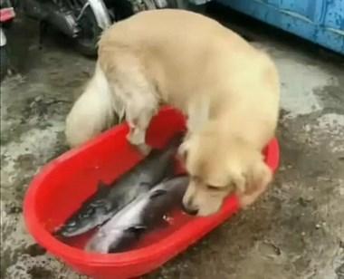 小心!伸进鱼盆里的狗腿子,可能比猫爪更危险!
