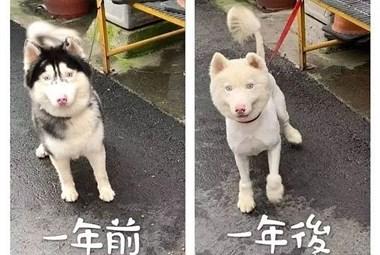送二哈洗澡结果洗成了白狗...哈哈哈哈哈哈哈这是给洗褪色了?