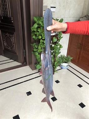 第一次见!家里这鱼通体蓝黑色,嘴巴噶长!有人认识吗?