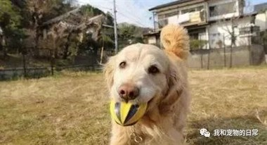 狗狗半年前去世了,朋友用他攒下的狗毛依原样制作了一只毛毡狗狗!