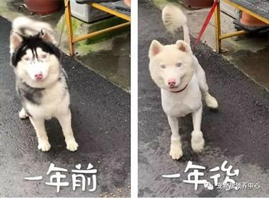 混血二哈被洗褪色还不够,竟然还被鄙视腿短...狗:你等着!