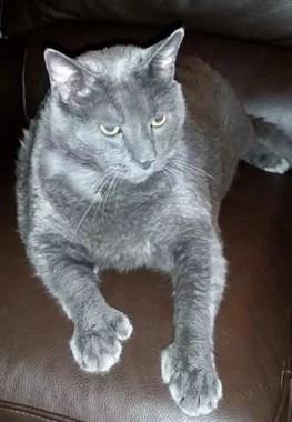 因为讨吃动作可爱到无法拒绝,这只猫最后吃成25磅的胖纸……