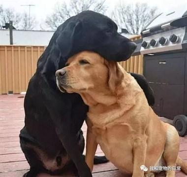 大黄狗失恋心情不好,好兄弟小黑过来安慰它,可到最后画风突变!