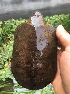 【转卖】宠物龟龟出售