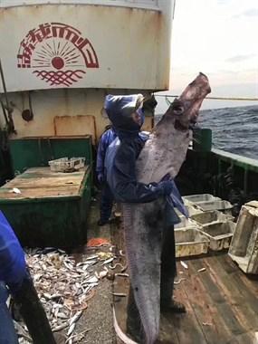 """松门讨海人要发财了!海里捕到一条""""带鱼精"""",比人都高!"""