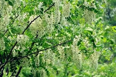 蒸槐花不要直接放面粉!这几个小技巧得知道,做出来的香甜不粘连