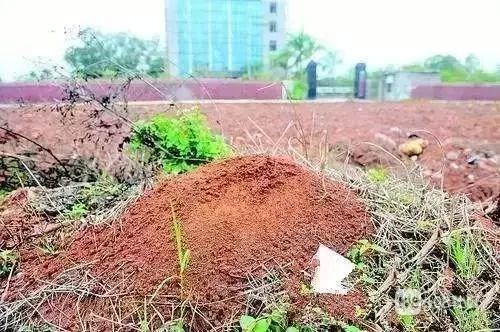 路边碰到这种小红土堆,赶紧躲远点!曾有多人因此中毒、休克!