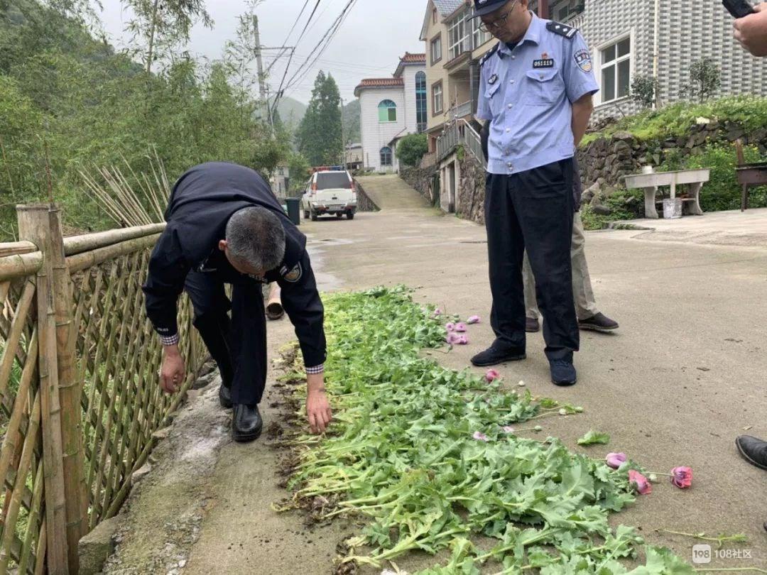 轻信罂粟能治病,莫干山8旬老人偷在田里种63株!结果傻眼