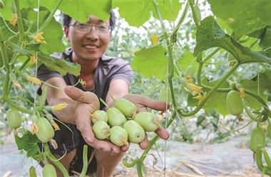 稀奇!绍兴这种黄瓜长得像大枣,30元一公斤还被疯抢