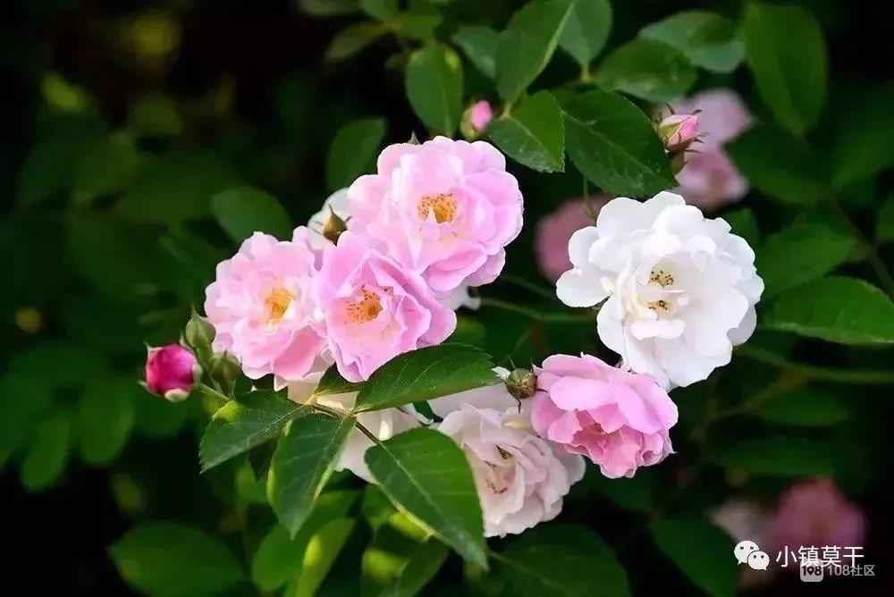 惊艳!莫干山下网红蔷薇花墙已就位,想拍照的抓紧了…