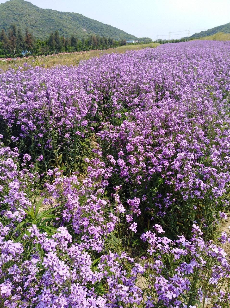 """岱山高亭的""""网红一片紫""""!置身花海中 真的太美"""