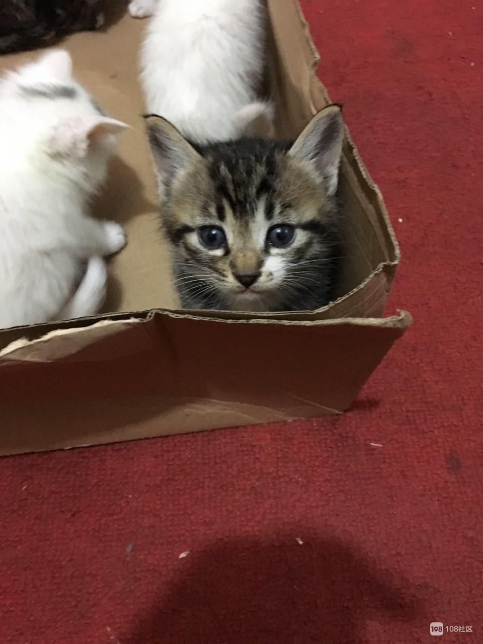 【转卖】几只可爱的小狸花猫求领养