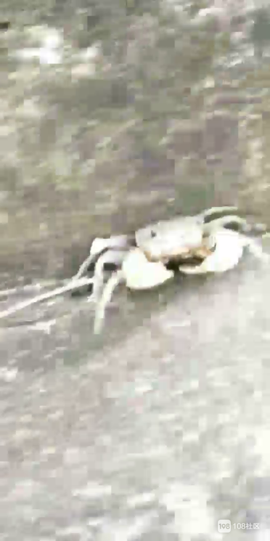 在长白岛抓螃蟹 跑得飞快被遛了!看起来好可爱…