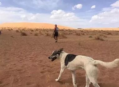 奔跑在撒哈拉沙漠地狱马拉松的一只从未放弃的狗