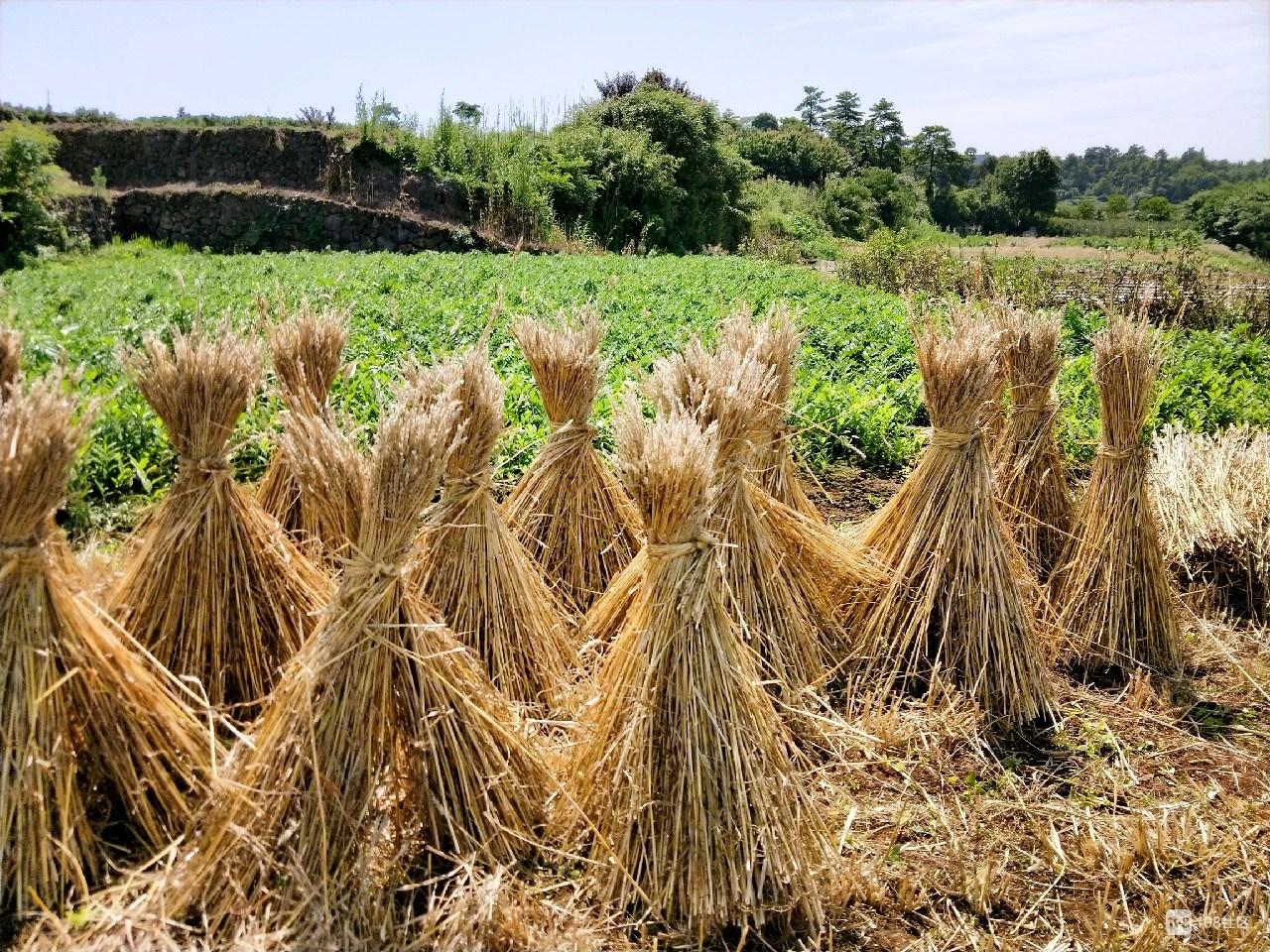 我家麦子丰收了!大市聚自种半亩田,面粉收起慢慢吃
