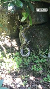 小将山里解手掉下一条蛇,又粗又长!都说是美女蛇