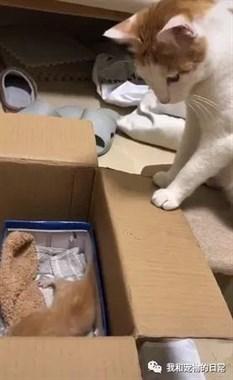 小奶猫在纸箱板上迟迟不敢下去,结果猫妈妈......哈哈,这一定是后妈