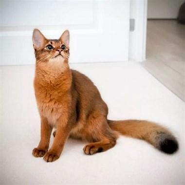 Errol是一只索马里猫,这颜值简直过分了! ????