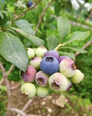 【招聘】招蓝莓代理商