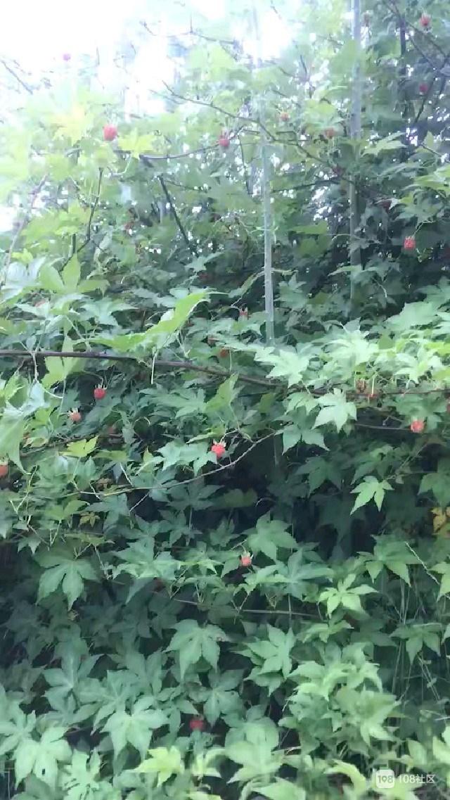 美女野外摘了这些果子,收获满满!看得我都口水直流