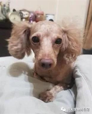 萌贵宾去了1趟美容院回来,不敢相信这是同一只狗狗!