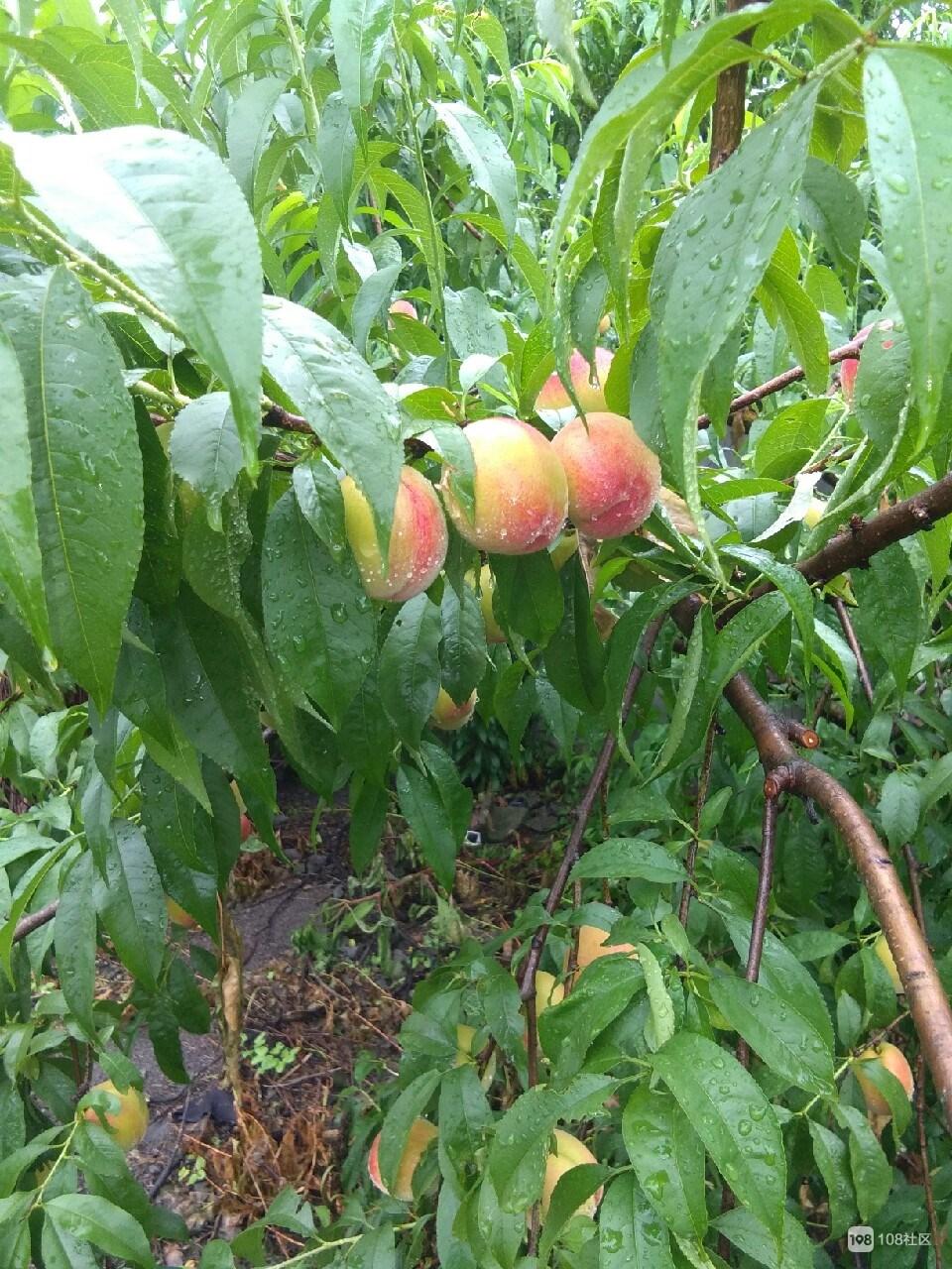 烂桃子倒墙角喂鸡,没几年竟长出桃树,还开花结果了