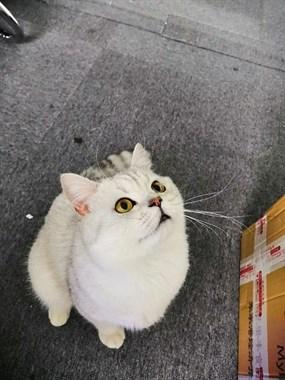 求购银渐层小猫咪家养的宠物店勿扰