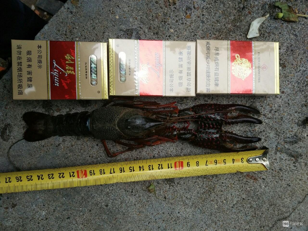 一只更比两只大,26公分的小龙虾虾王见过吗
