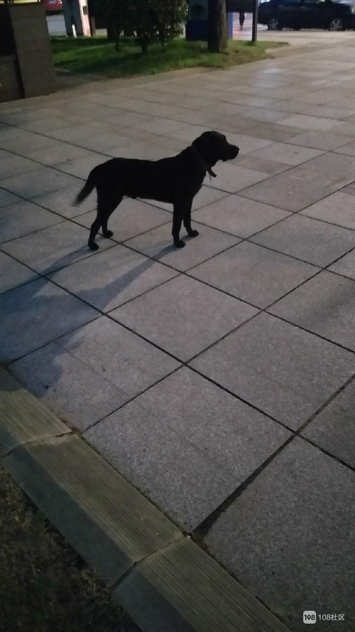 金山公园这黑狗把小孩拉倒在地又舔又抓,还是有证的!