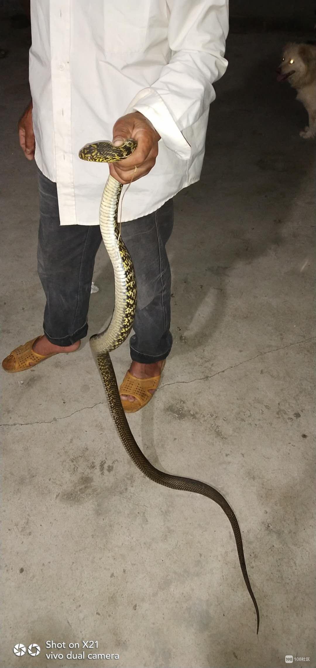吓死!噶大两条蛇钻进我家里偷这东西,连忙叫人抓走