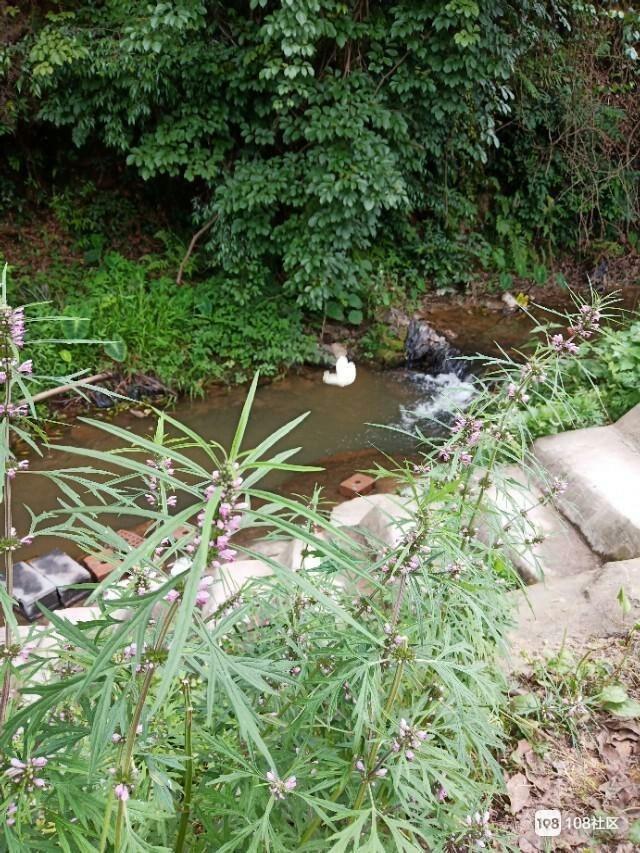 长见识了!溪边这种开着紫花的小草,竟是妇科病良药!