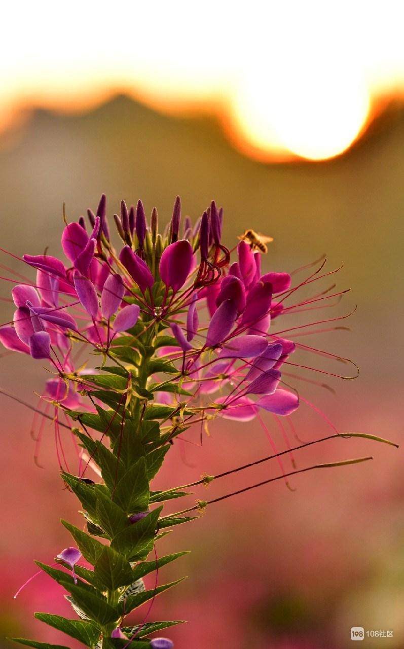 晨曦蜂相迎,彩云光下影。