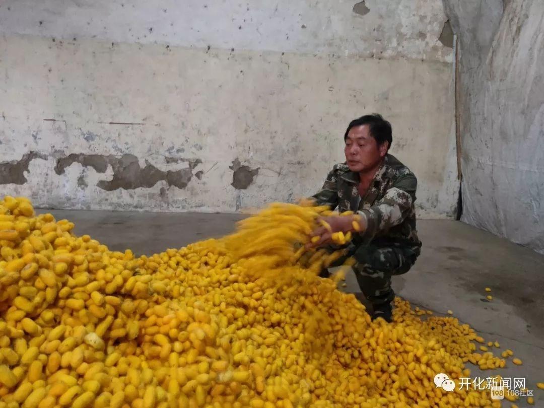 新鲜!开化农民养出金黄色的蚕茧,还增收32万余元!