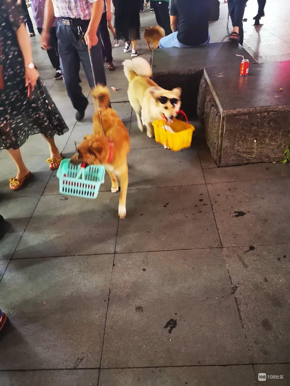 带着墨镜提篮子上街溜娃,衢州狗狗比贵妇还有范!