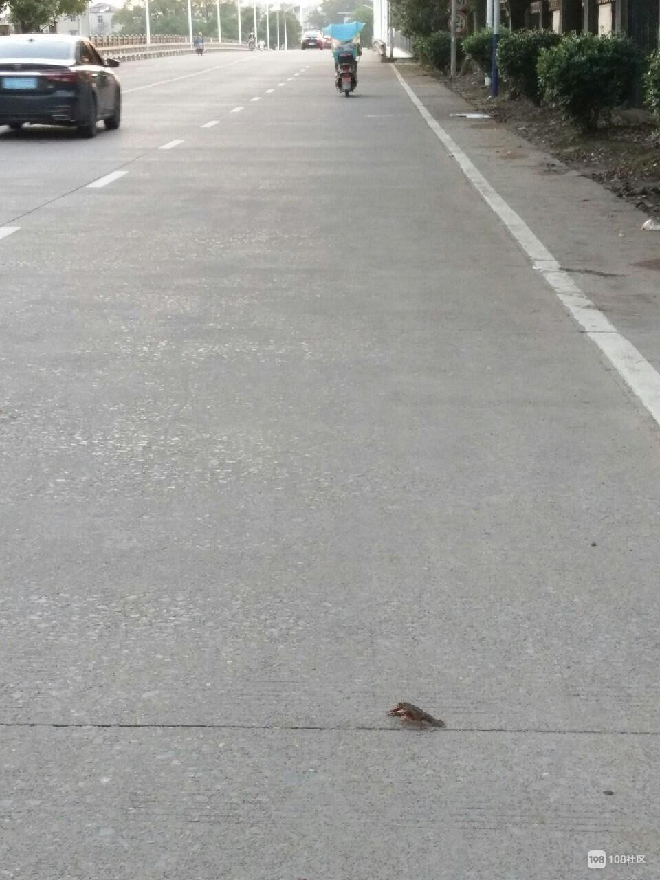 等车过马路的龙虾