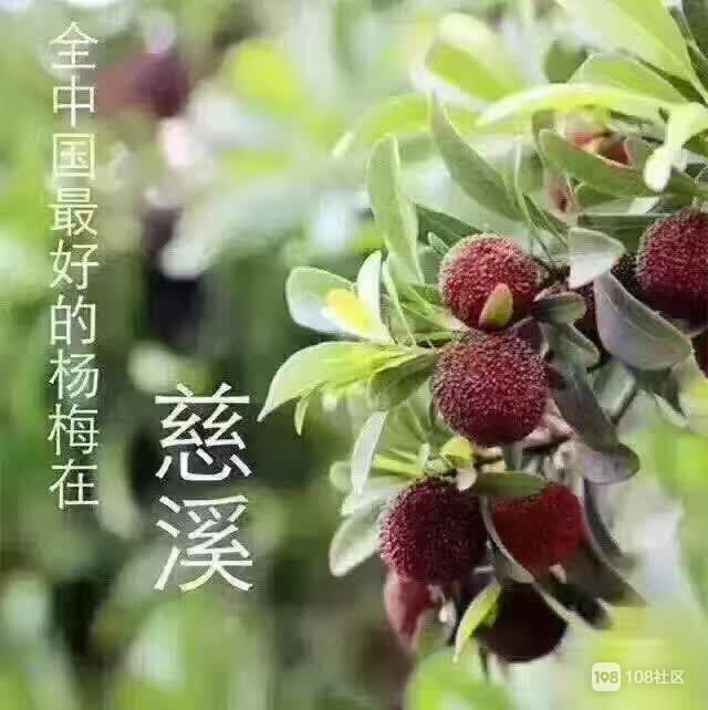 正宗慈溪杨梅
