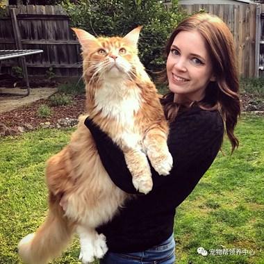 可爱小橘猫长成温柔巨人!它坐着竟比狗子还高一个头...