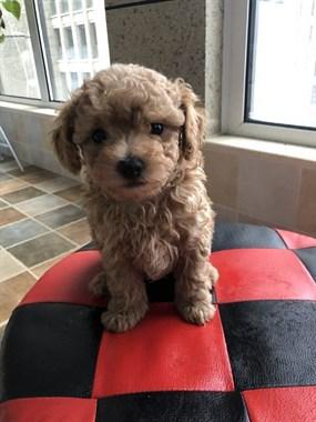 出售泰迪幼犬一只