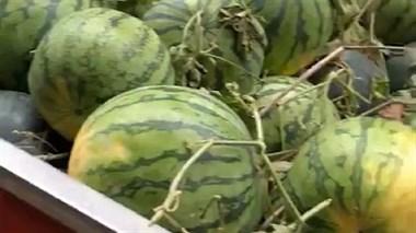 帮枫桥这家人卖西瓜,4600斤西瓜被我这样卖光了!