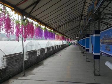 本周六温峤这地方绝对热闹!现场已布满紫藤花