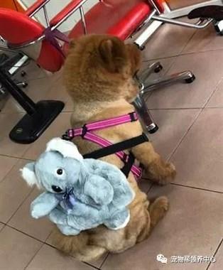 下雨天帮松狮犬穿雨衣,路人纷纷行侧目礼...养了维尼熊吗?