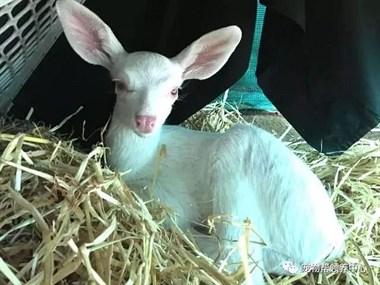 """好心司机救起路中央的""""大耳朵小羊"""",动保专家却说这其实是一只..."""